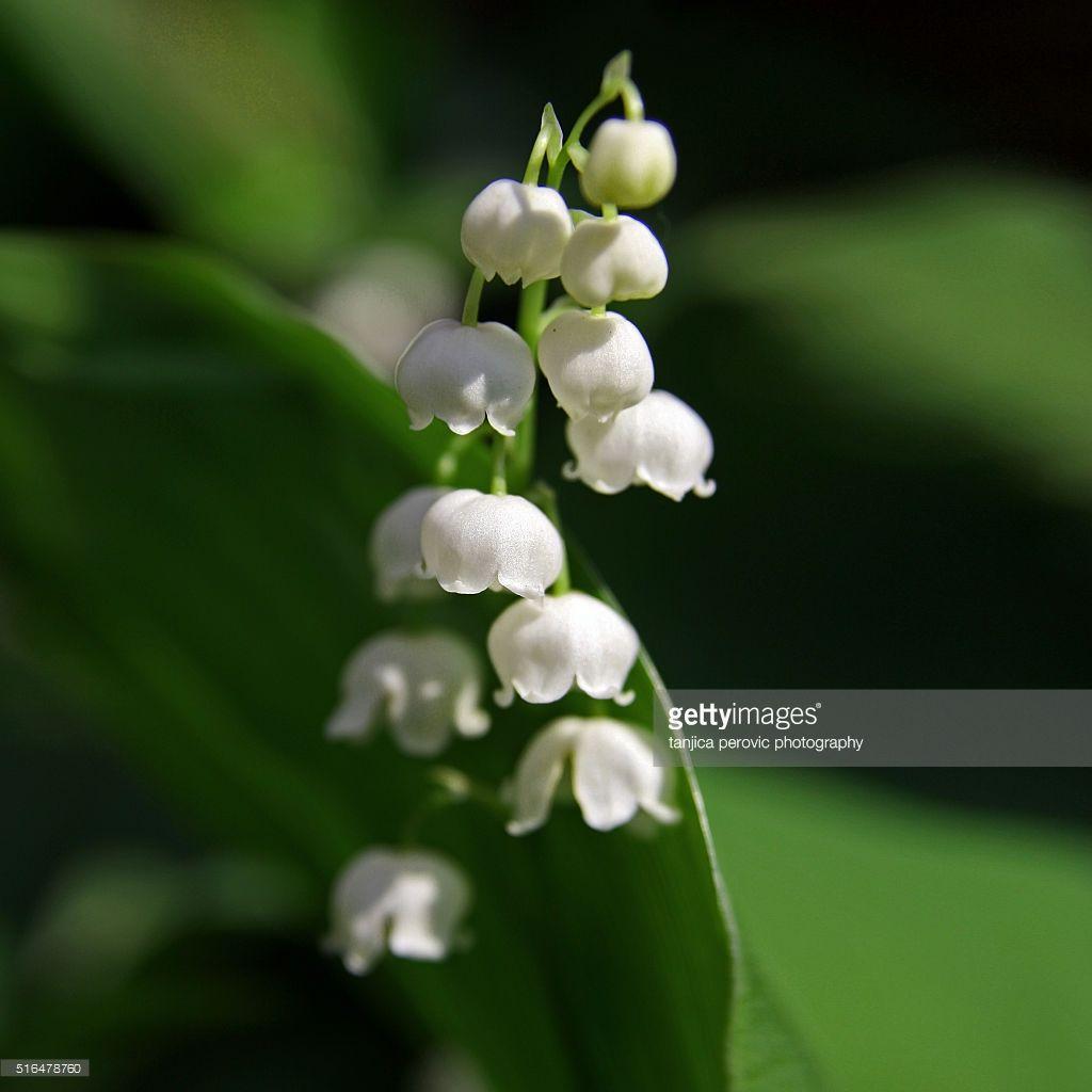 Macro Of Convallaria Majalis White Bell Shaped Blossoms Sweetly