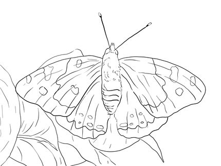 Click to see printable version of Kamehameha Butterfly coloring page
