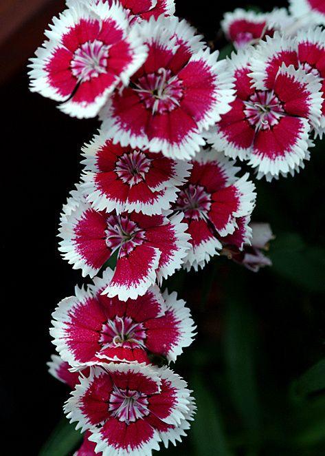 Sweet William Dianthus Barbatus Garden Flower Beds Sweet William Dianthus Flowers