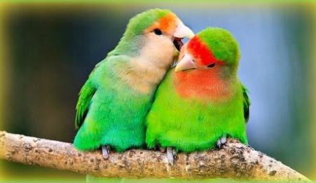 تحميل صوت طيور الحب لف بيرد Mp3 Parakeet Parakeet Care Love Birds