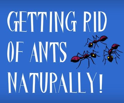 how to get rid of tiny black ants