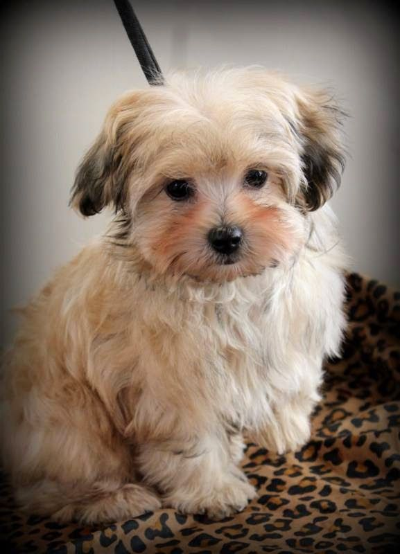 Beautiful Bolonka! Poodle mix breeds, Cute dogs, Cute