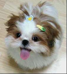 Shih Tzu Dogs Breeders Reviews And Pictures Puppies Shitzu
