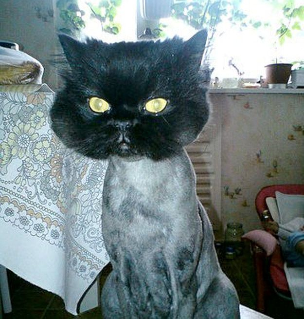 25 Adorably Tragic Half Shaved Animals Shaved Animals Funny Animals Cat Haircut