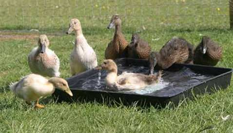 Beginner's Guide to Keeping Ducks- I can't wait to get my ducks!