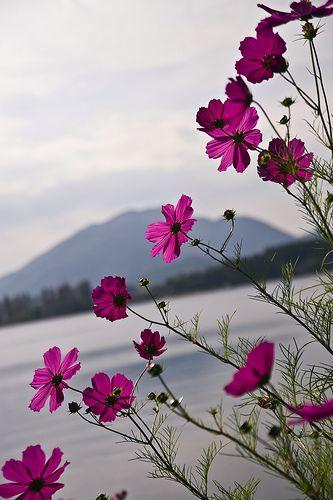 Cosmos Flowers In Purple On Lake Kawaguchi Cosmos Flowers Beautiful Flowers Wallpapers Flower Background Wallpaper