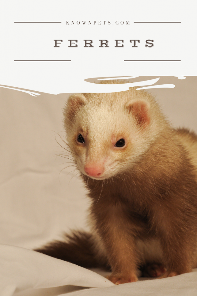 Top 10 Facts About Ferrets You Didn T Know Ferret Names Ferret