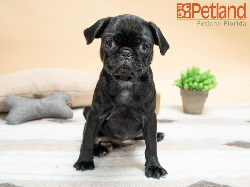 A Pugs Heart Warming Cuddles Are Sure To Make You Melt Check Out All Our Available Puppies Pug Puppy Doglover Adorable Puppy Friends Puppies Dog Lovers