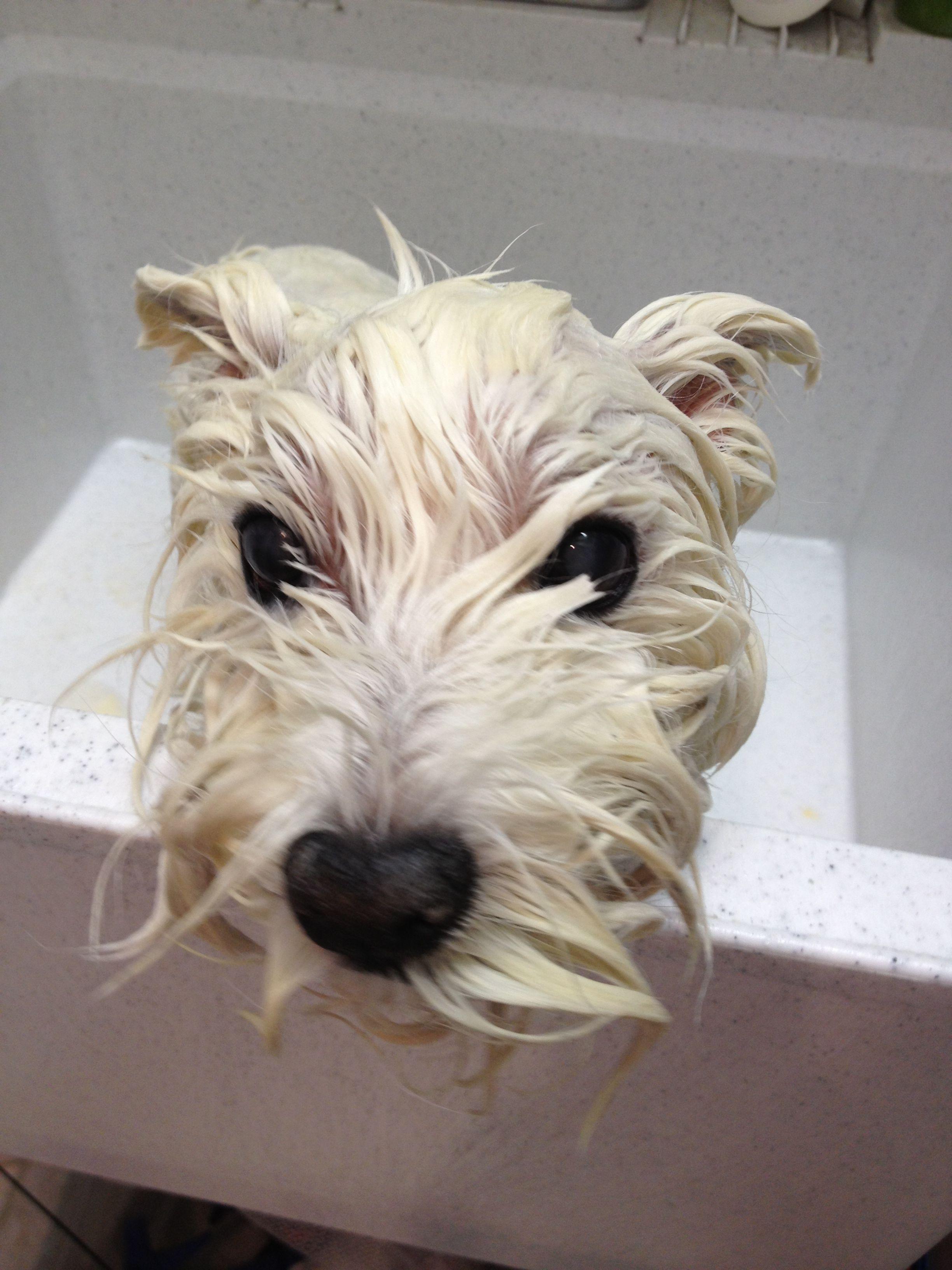 Bath Time They Look So Different Wet Westie Westies Westie