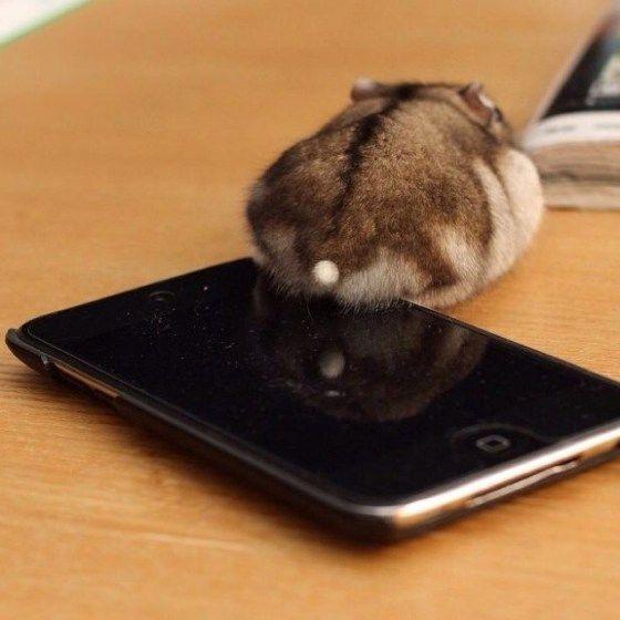 Butt calling. Hamster style.
