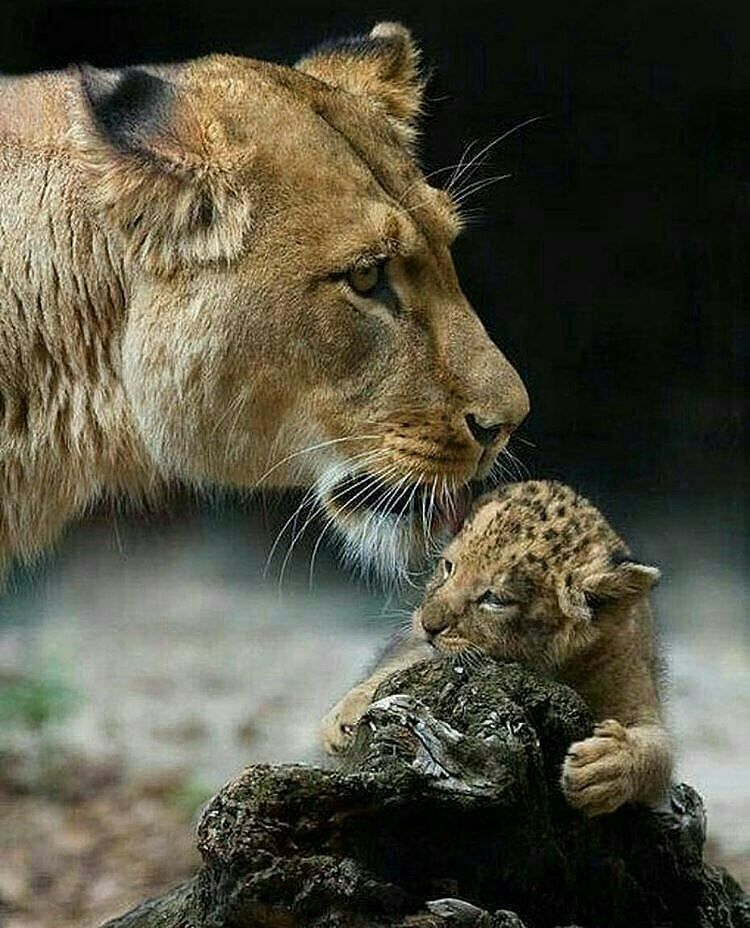 いいね!141件、コメント2件 ― analiaottaviさん(@analiaottavi_)のInstagramアカウント: 「Él inmenso Amor maternal!!!✨ Photography by ©vladimirqueirozsejas #lion #lions…」