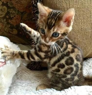 cutie patotie kitty Bengal kitten, Newborn kittens