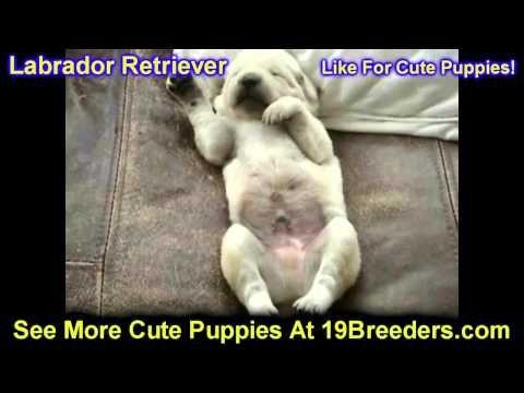 Labrador Retriever Puppies Rescue Illinois Labrador Retriever
