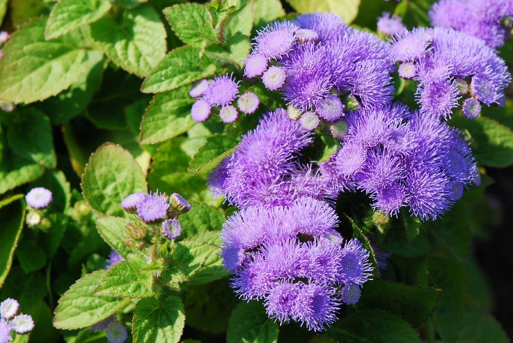 Dsc 0279 Ageratum Hawaii Blue Ageratum Houstonianum Plants Mosquito Repelling Plants Forest Flowers