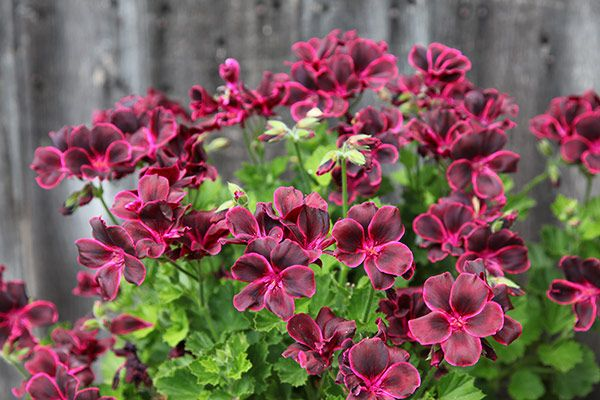 Pelargonium Lord Bute Regal Pelargoniums Pelargonium