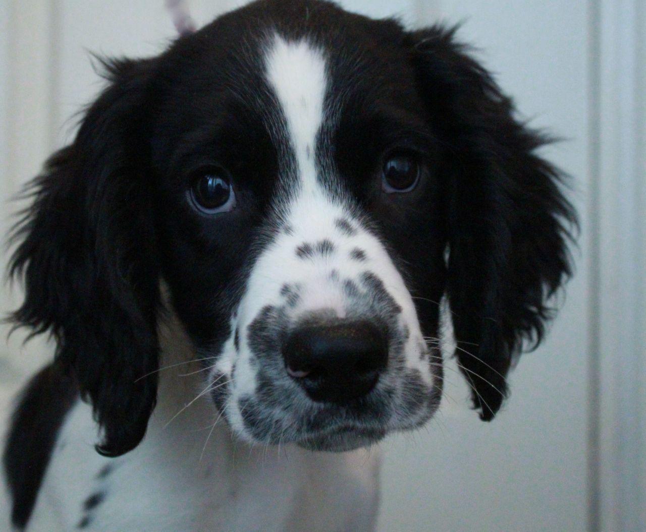 Welsh Springer Spaniel Springer Spaniel Puppies Brittany Dog Cutest Dog Ever