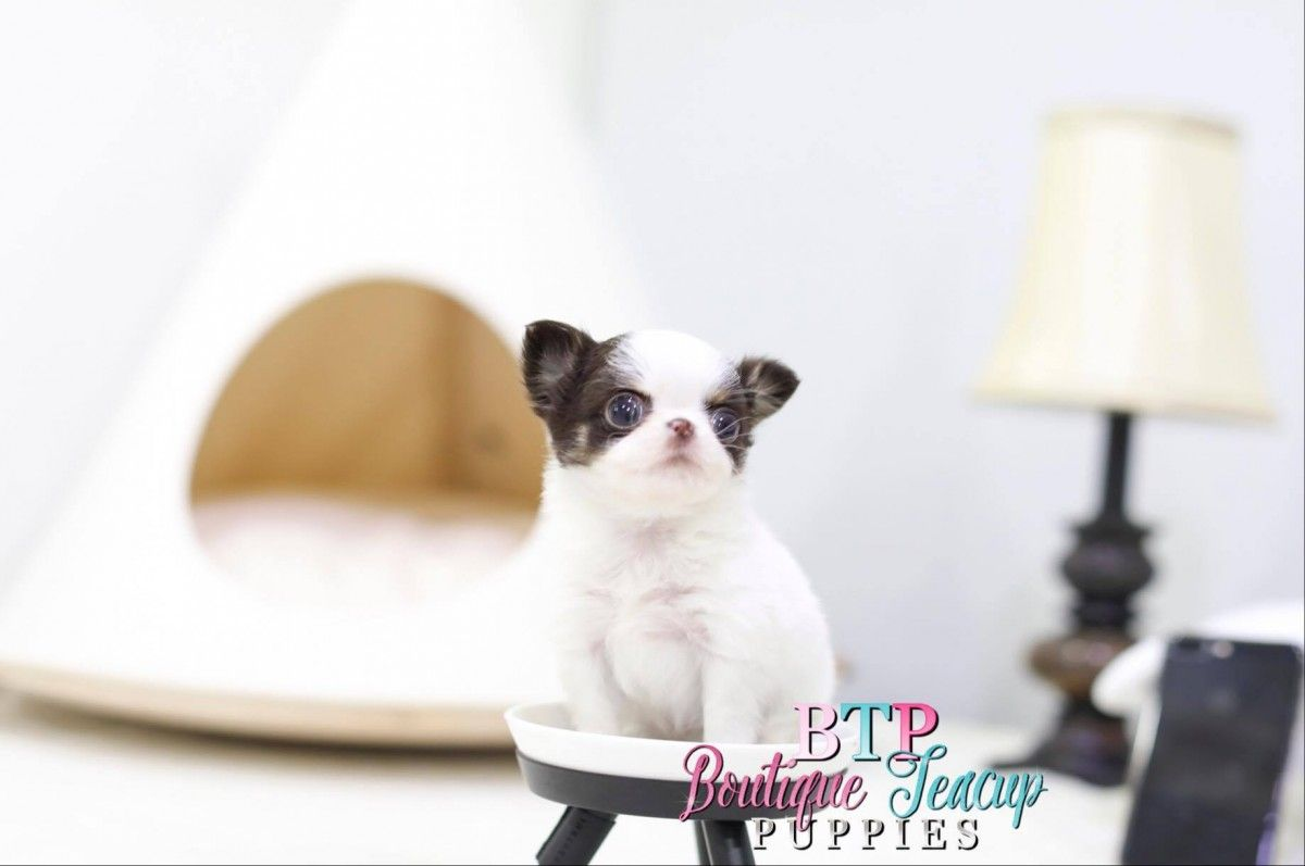 Chihuahua puppies for sale chihuahua puppies teacup