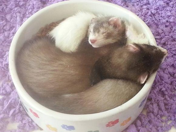 Cute Ferrets Sleeping In A Bowl Cute Ferrets Tired Animals Funny Animals