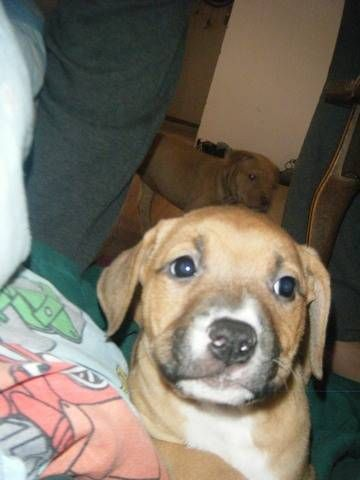 Four Bullmastiff Pitty Puppies For Sale For Sale Adoption From