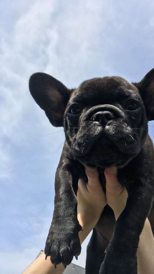 Black French Bulldog Puppy, now living in Oregon French