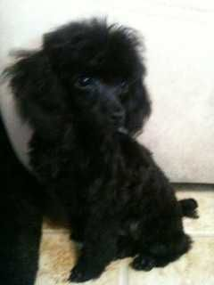 Black Miniature Toy Poodle Tiny Toy Poodle Tiny Toy Poodle