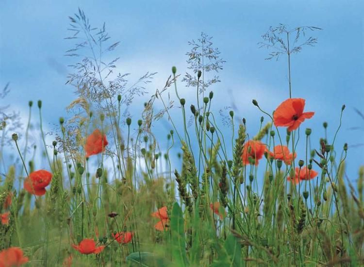 Fototapete Blumenwiese , 368 x 254 cm, Mohnblumen, grüne Wiese