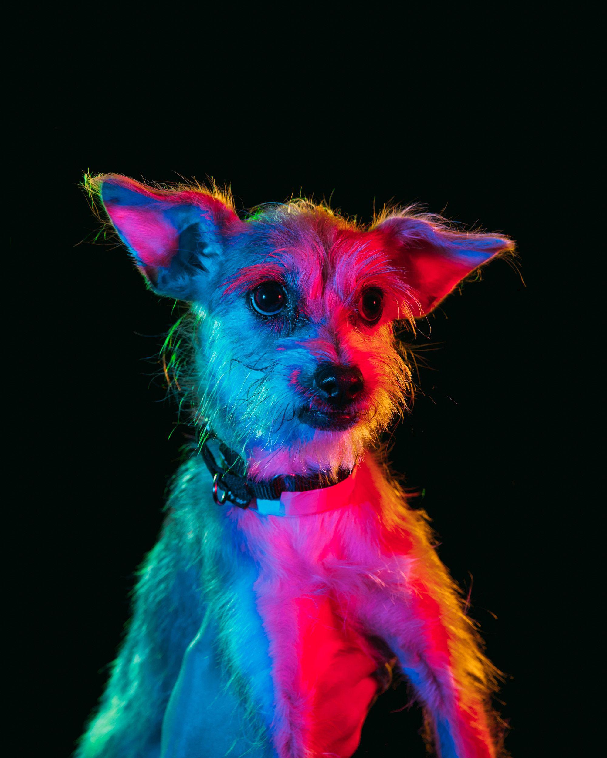 Photographer Paul Octavious Uses Vibrant Hue Lighting To Spotlight Adoptable Shelter Dogs Dog Photograph Colorful Portrait Dog Portraits