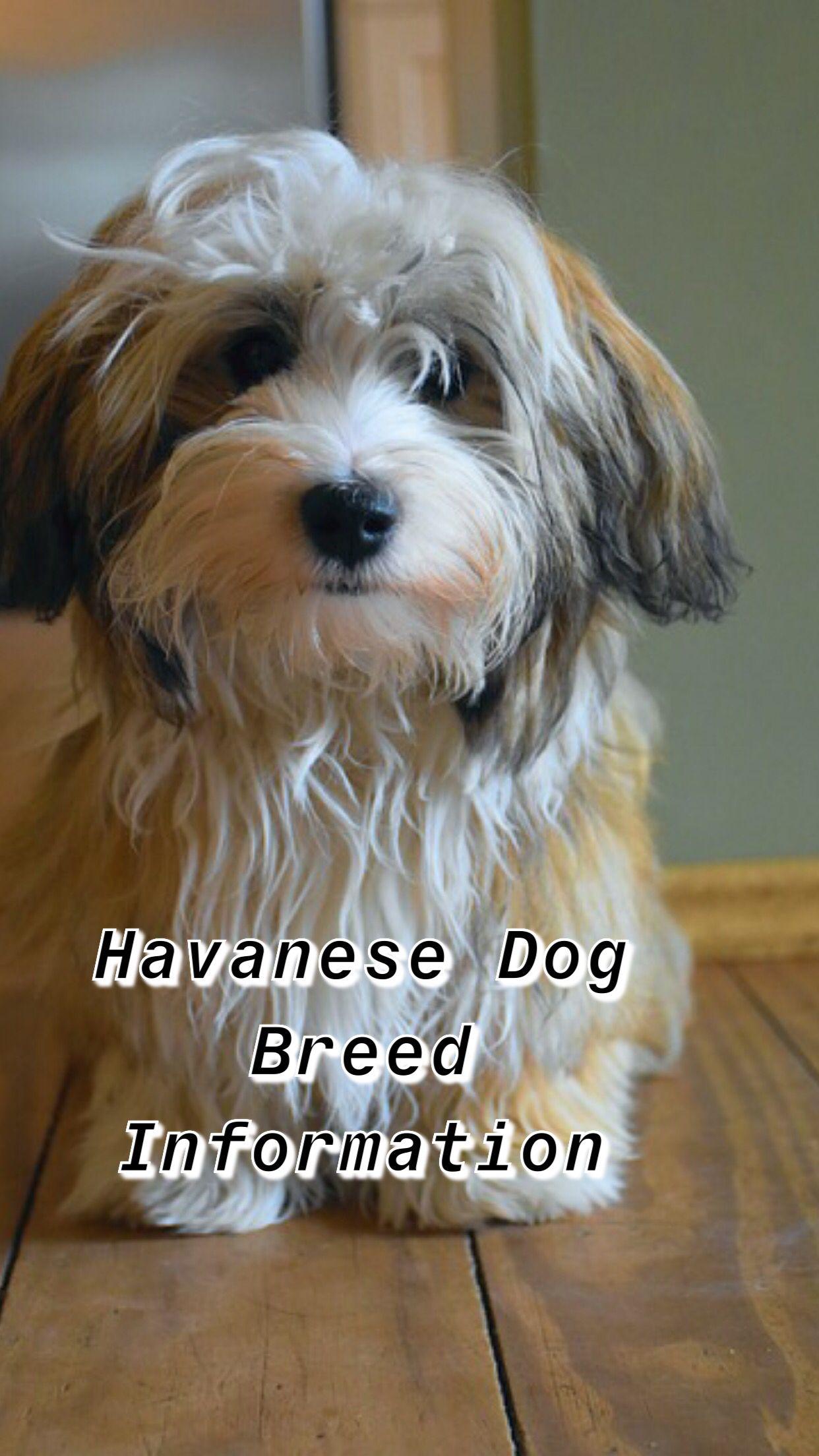 Havenese Dog Breed Information Dog Breeds Havanese Dogs Havanese Puppies