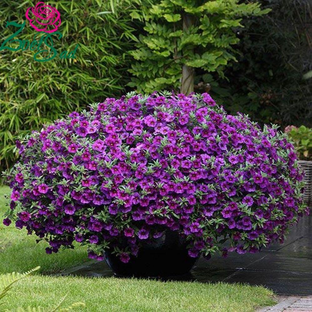 Calibrachoa Kabloom Plants Pinterest Gardens Plants And Flowers