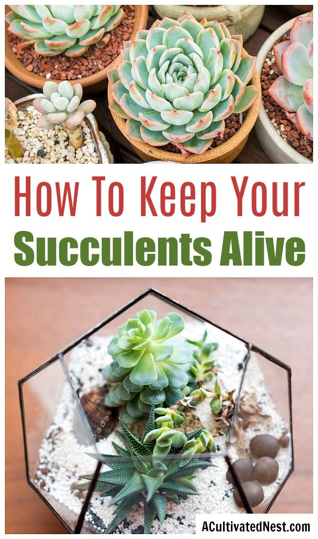 How To Keep Your Succulents Alive For Beginners A Cultivated Nest Succulents Succulent Care Taking Care Of Succulents