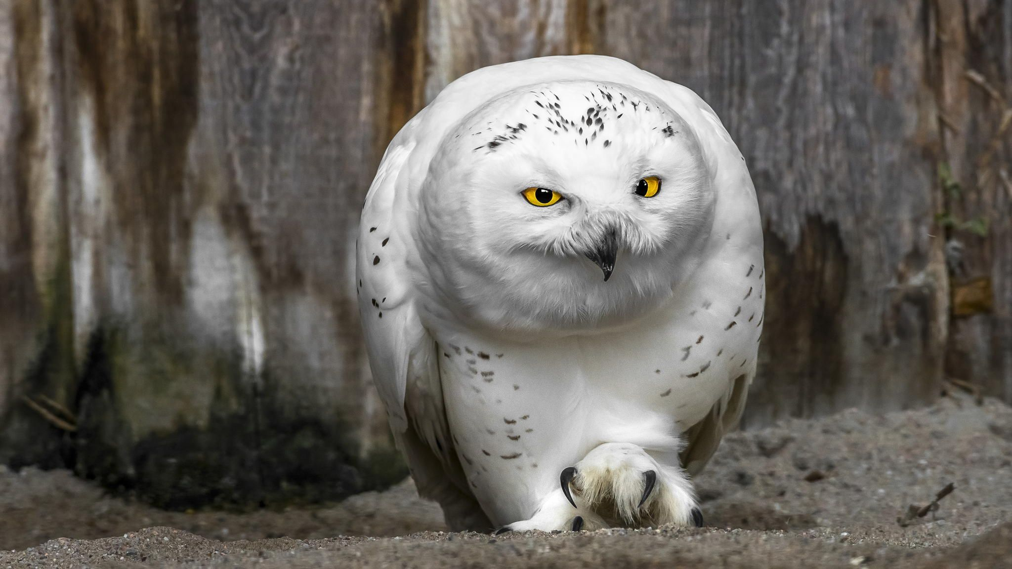 Beautiful White Owl Hd Wallpaper Wallpaperfx 16001000 White
