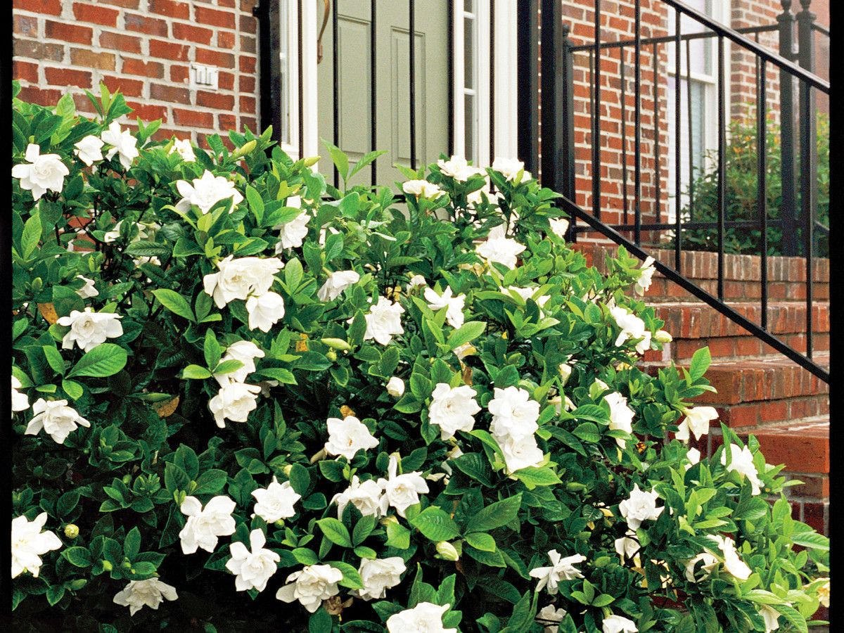 Gardenia Bush Hedge This Might Be A Nice Replacement For Those Rosebushes Under The Windows Next To The House Shade Flowers Garden Hedges Gardenia Bush