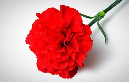 Carnation Floral Wax Moringayoung Carnation Flower Carnation Flower Meaning Flower Meanings