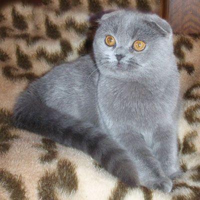 Scottish Fold X British Shorthair Kitten Cat Scottish Fold