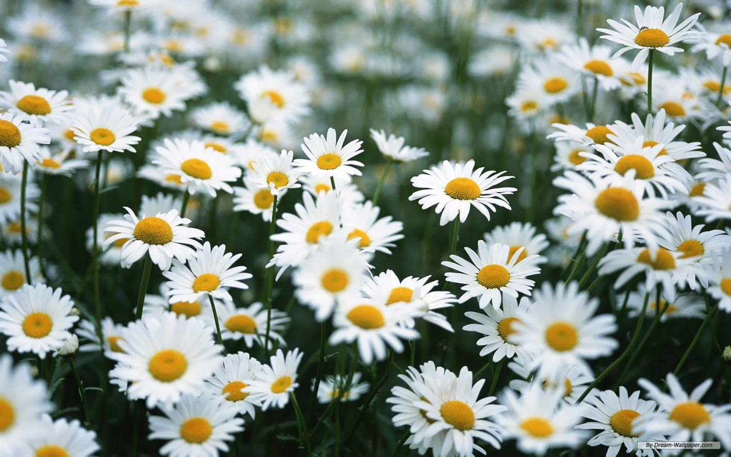 Wouldn T You Love To Lay In A Field Of These Daisy Flower Pictures Insect Repellent Plants Daisy Wallpaper