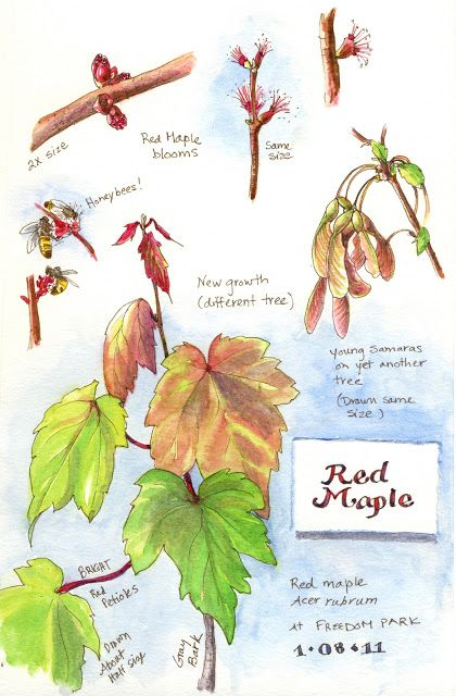 Pin By Amy Maphet On Living Things In My North Georgia Back Yard Watercolor Trees Botanical Sketchbook Nature Journal