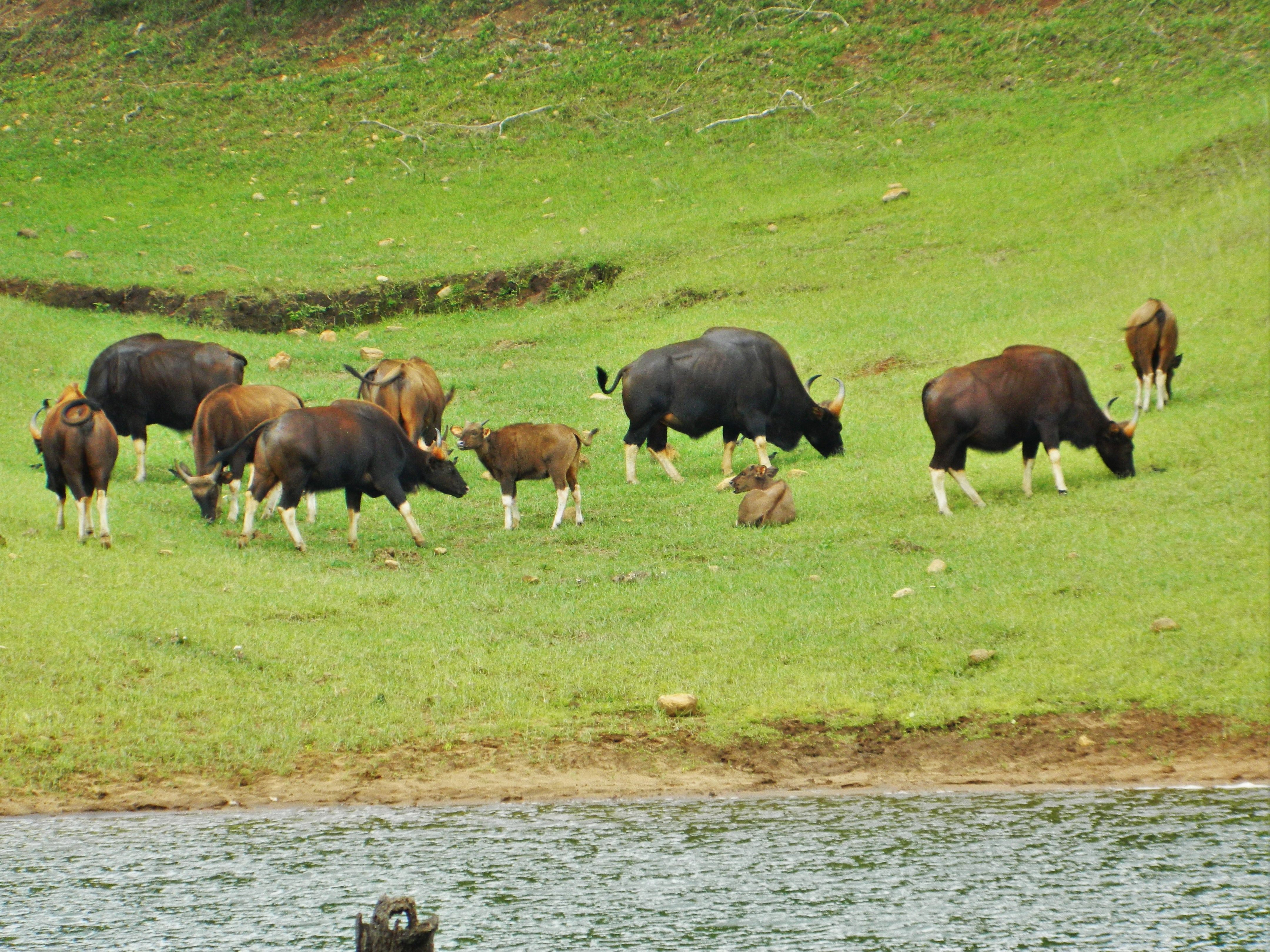 Periyar National Park is reserved for wild animals. Tigers