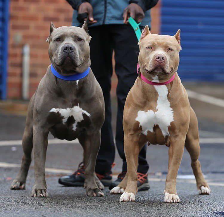 Dog Pitbull Pit Dogs Tshirt Dog Tshirt Dogs Tshirt Dog