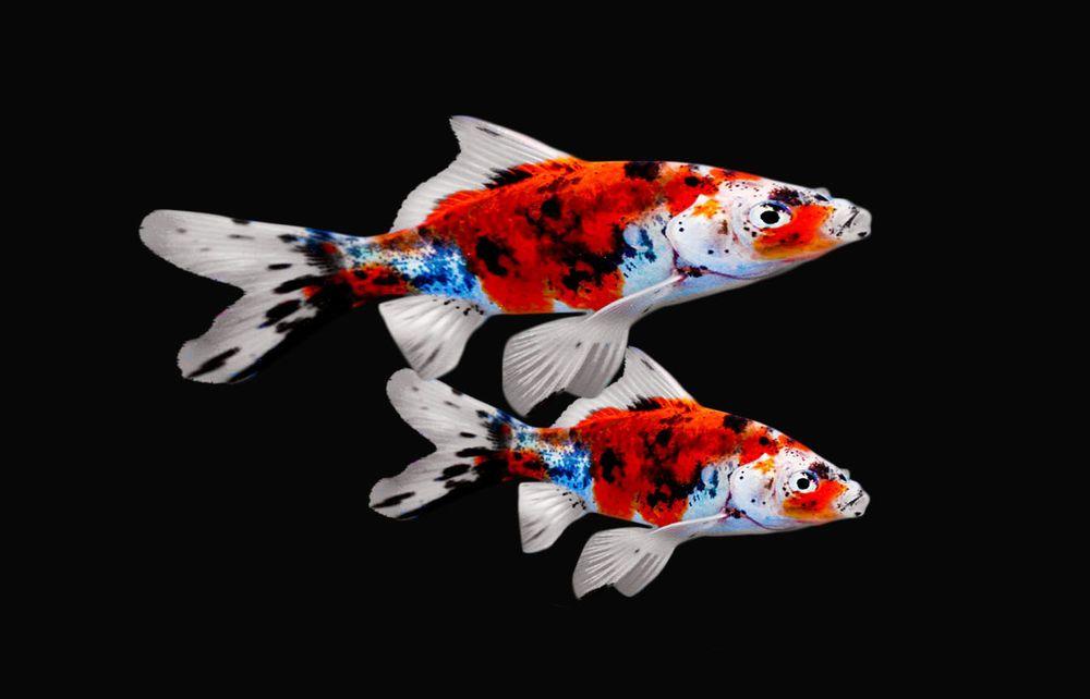 Shubunkins Shubunkin goldfish, Goldfish, Fresh water