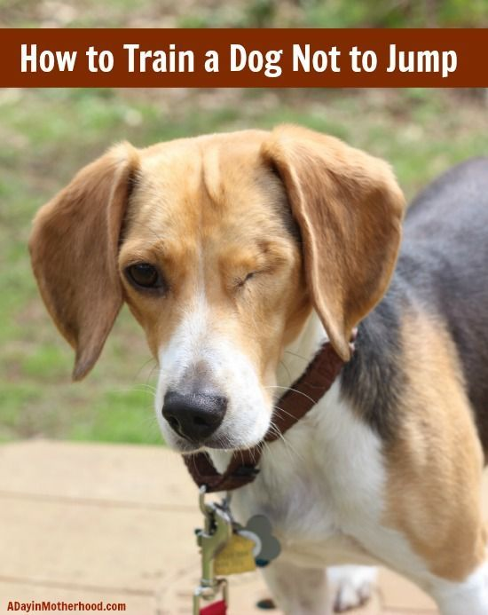 How To Train A Dog Not To Jump Training Your Dog Dog Training