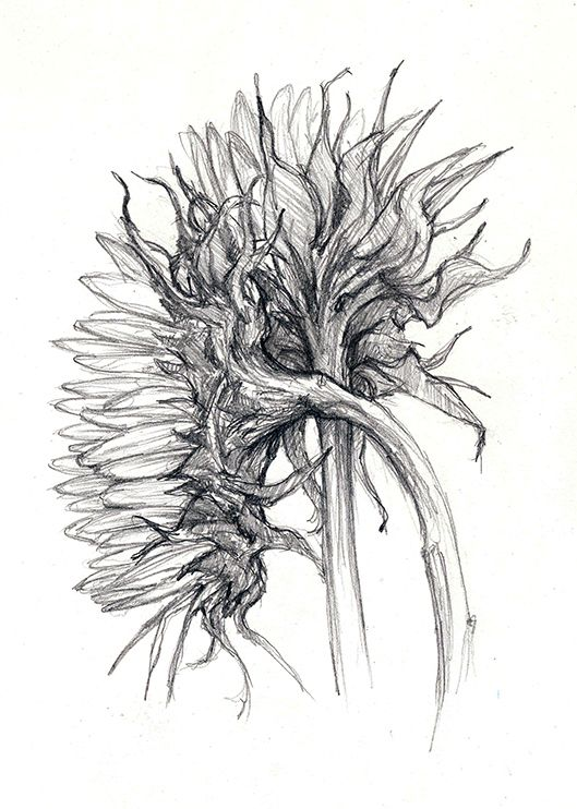 Pencil sunflowers in 2020 | Drawings, Pen drawing, Sketches