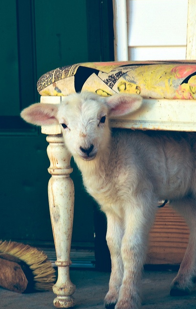 Little lamb, of course it's allowed in the house..