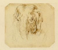 Stefano DELLA BELLA - The Head of an Elephant