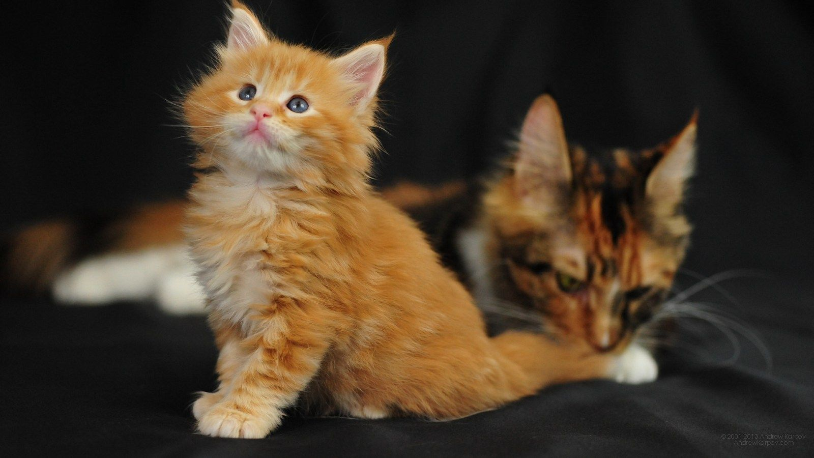 Orange and White Maine Coon Cat Maine Coon Cats Maine