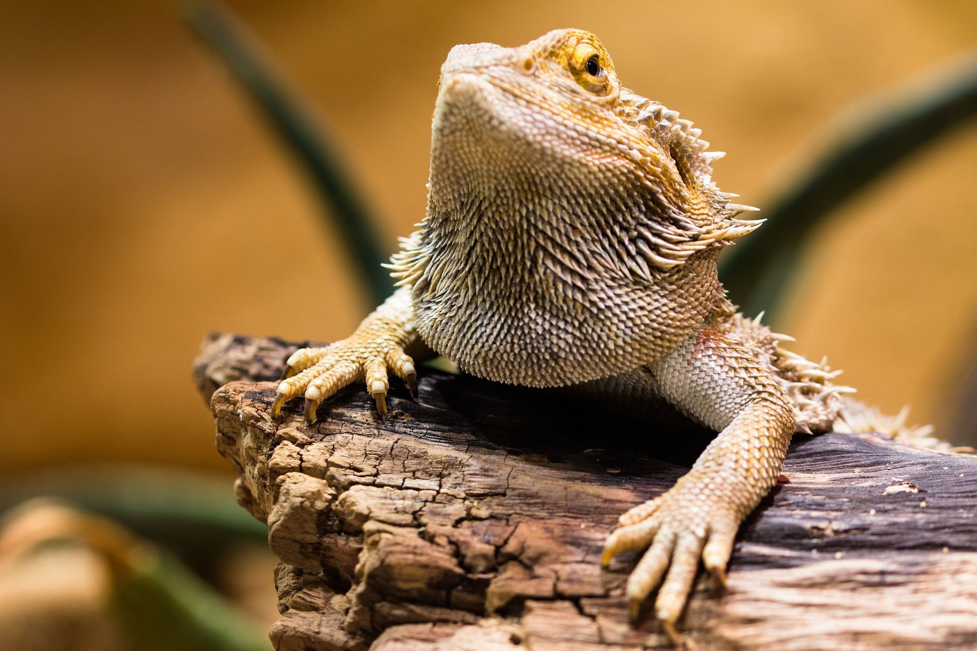 Find Out About Reptile Pet Sitters Reptile Boarding Facilities What To Prepare For Your Reptile B Bearded Dragon Care Bearded Dragon Cute Baby Bearded Dragon