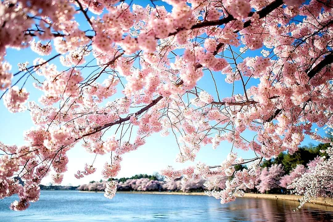 New The 10 Best Home Decor With Pictures Oh The Magnificent Cherry Blossoms I Went T Cherry Blossom Washington Dc Cherry Blossom Dc Cherry Blossom Tree