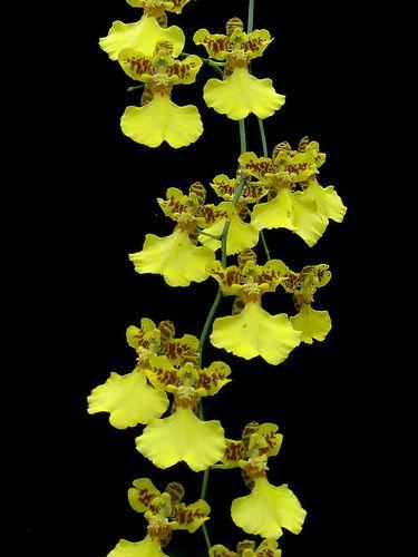 Oncidium Flexuosum Oncidium Oncidium Orchids Rare Orchids