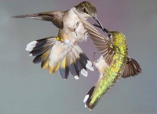 hummingbird fight photo