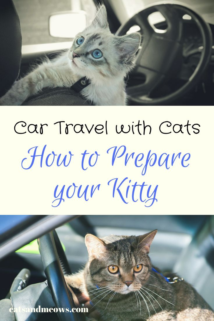 Car Travel With Cats How To Prepare Your Kitty Cats And Meows In 2020 Cat Training Cat Travel Cat Having Kittens