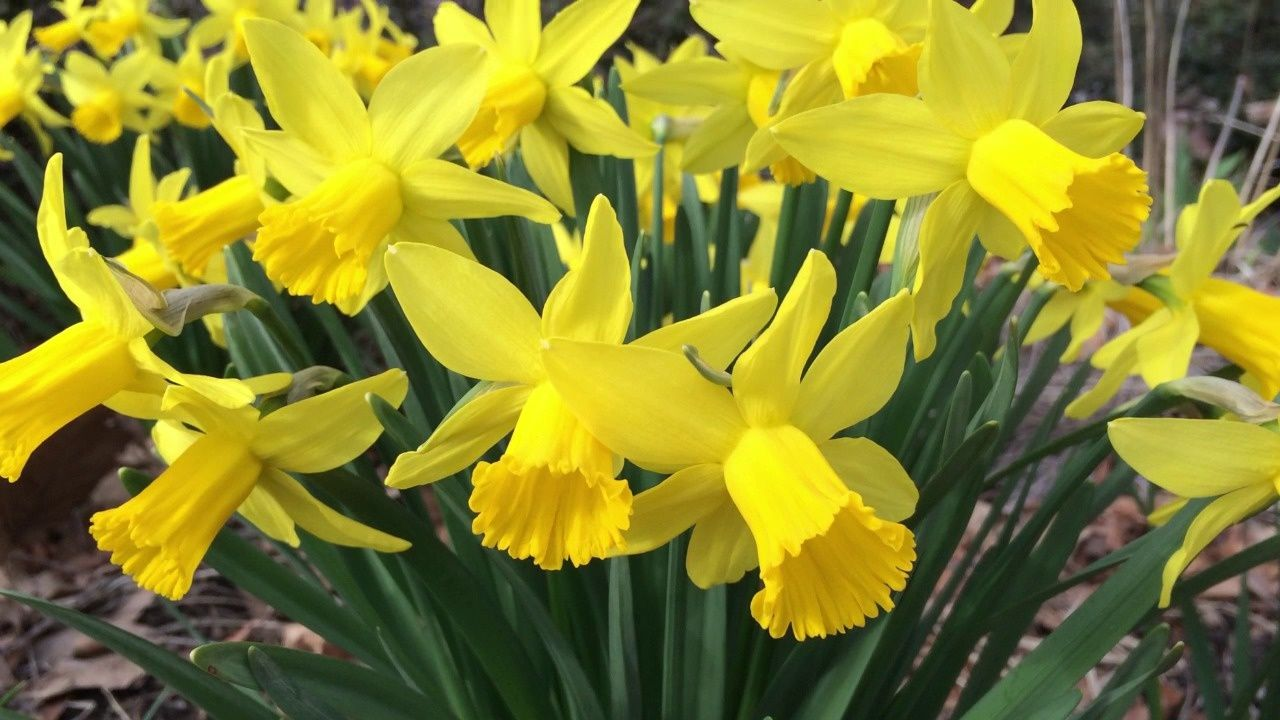 How To Plant Fall Flower Bulbs American Meadows In 2020 Daffodil Flower Fall Flowers Bulb Flowers